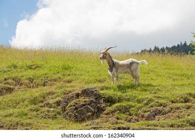 Capricorn of mountain field