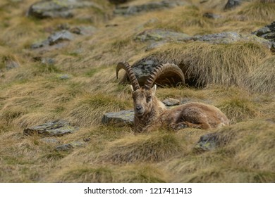 Capricorn resting in the mountain grass in Valle di Cané