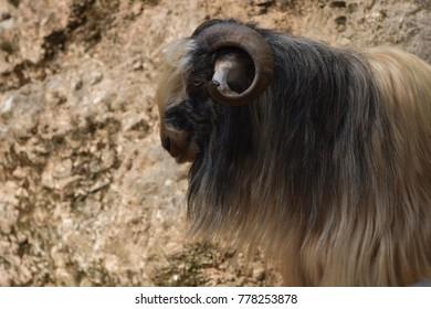 Capricorn at Wildlife
