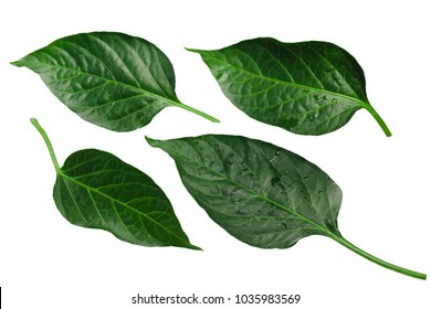 Capsicum annuum (chile pepper) leaves. Clipping path for each