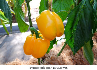 Capsicum annuum is commonly known as bell pepper, sweet pepper or capsicum.