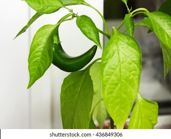 Capsicum annuum. Cultivation of green chili pepper on a windowsill, vegetable garden inside home.
