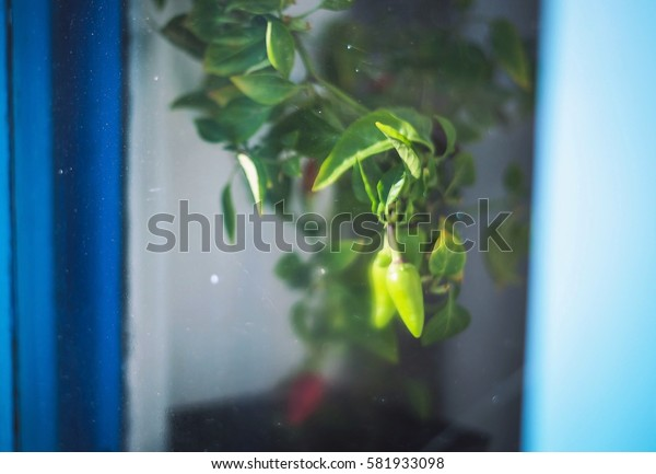 Capsicum annuum. Cultivation of red and green chili pepper on a windowsill, vegetable garden inside home