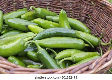 Capsicum Annuum, Jalapeno Hercules, unripened green hot fruits harvested in braided wicker basket