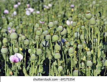 capsules of poppy