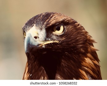 in the captivating look of the golden eagle