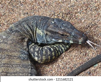 Captivating Spectacular Common Goanna with a Forked Tongue Against a Dry Pebbled Background.