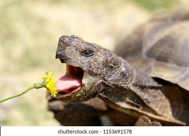 Captive adult male California Desert Tortoise eating Dandelion. Marin County, California, USA.