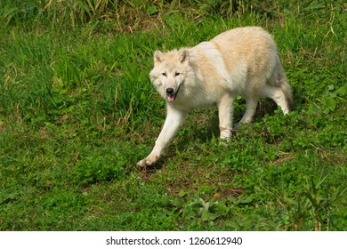 A captive Arctic Wolf is running down a shallow hill at the zoo. Also known as a White Wolf. Toronto, Ontario, Canada.