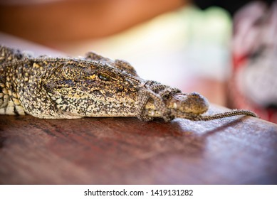 Captive baby crocodile with tied jaws on the table. Animals in captivity in Cuba zoo. Free space for text