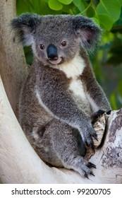 A captive baby Koala (Phascolarctos Cinereus)