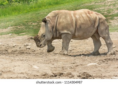 A captive baby White Rhinoceros walks in the sand at the zoo. Toronto, Ontario, Canada.