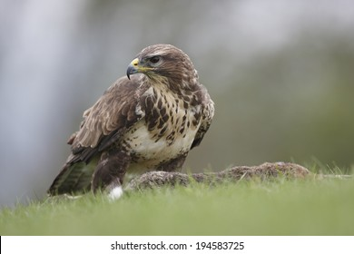 A captive Buzzard standing over a dead Rabbit,ready to feed