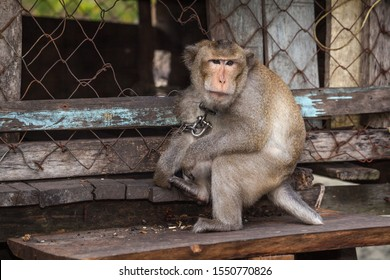Captive, chained macaque monkey by its cage in the fishing village of Prek Svay, Koh Rong Island, Cambodia in Kuala Lumpur, Malasia.