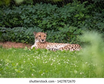 Captive Cheetah at a Zoo