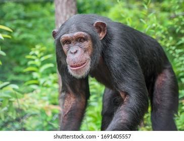 Captive Chimpanzees in Outdoor Habitat