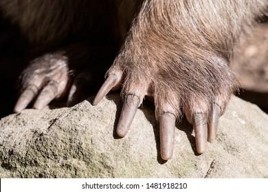 Captive Common Wombat showing feet