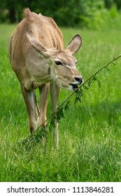 Captive female Greater Kudu grazes on a leafy snack at the zoo. Toronto, Ontario, Canada.
