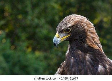 Captive Golden Eagle Raptor Show.
