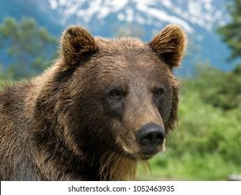 Captive Grizzly bear at Alaskan Wildlife preserve