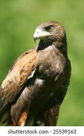 Captive Harris Hawk Profile