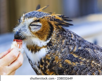 A captive injured Great Horned Owl is fed his supper.