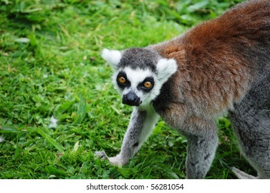 A captive lemur crouching in the grass.