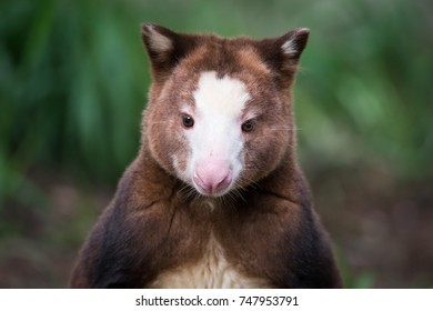 A captive Matschie's tree-kangaroo at a zoo in Toronto, Canada.  Native to Papua New Guinea, Matschie's tree-kangaroo's are endangered in the wild.