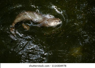 A captive North American River Otter is swimming in the water at the zoo. Toronto, Ontario, Canada.