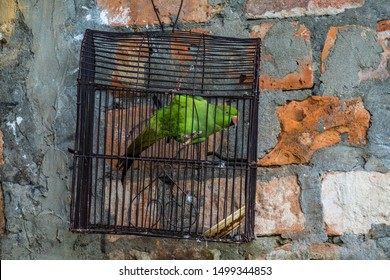 A captive parrot hangs onto the inside of a cage hung on a crude brick wall.