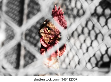 Captive rooster in coop behind wire fence