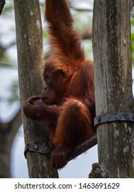 Captive Sumatran Orangutans (Orangutang, Orang-utang)