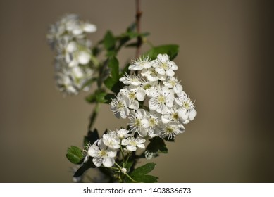 Capture of flowering crataegus monogyna - oneseed hawthorn tree , selective focus. Other names - mayblossom, haw,maythorn,whitethorn,motherdie.