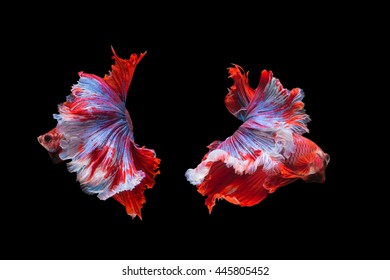 capture the moving moment beautiful of siam betta fish in thailand on black background