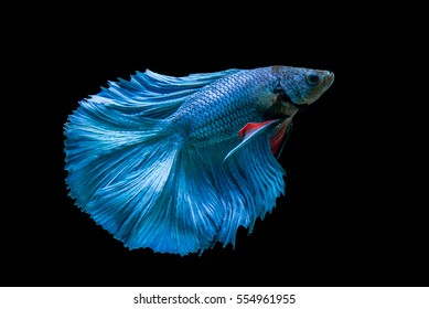 capture the moving moment  beautiful of siam blue halfmoon betta fish in thailand on black background