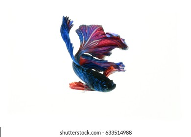 Capture the moving moment of red siamese fighting fish isolated on white background. betta fish