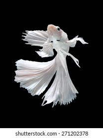 Capture the moving moment of white siamese fighting fish isolated on black background. Dumbo betta fish