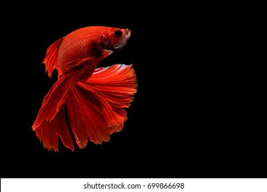 Capture the moving moment of white siamese fighting fish isolated on black background, Betta splendens,Gifts for Arabs,Thailand Culture be alive,Gifts for Europeans