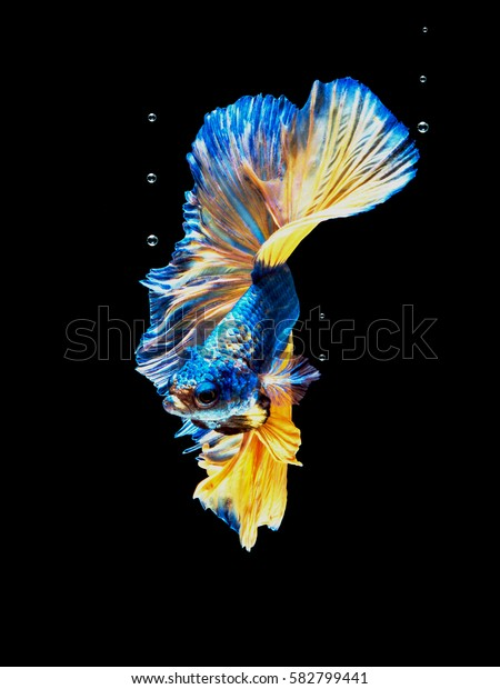 Capture moving of siamese fighting fish on black background. Betta fish.
