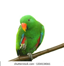 i capture this picture at Singapore, this is The eclectus parrot  is a parrot native to the Solomon Islands, Sumba, New Guinea and nearby islands, northeastern Australia, and the Maluku Islands