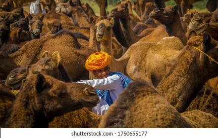 Captured Camel Seller Sitting Between Camel Herd At Pushkar Camel fair Rajasthan