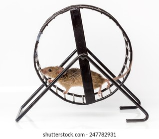 Captured house mouse (Mus musculus) running in metallic treadwheel