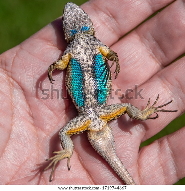"""A captured male Western Fence Lizard (Sceloporus occidentalis) plays possum while laying on its back, exposing its colorful blue belly.  It is commonly known as the """"Blue Belly"""" lizard."""
