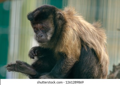 A capuchin money sits and keeps watch