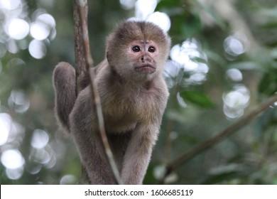 Capuchin money sitting in tree in Amazon Rainforest in Cuyabeno Wildlife Reserve, Ecuador.