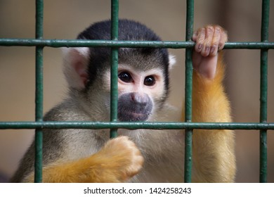 Capuchin Monkey Always Looking Out