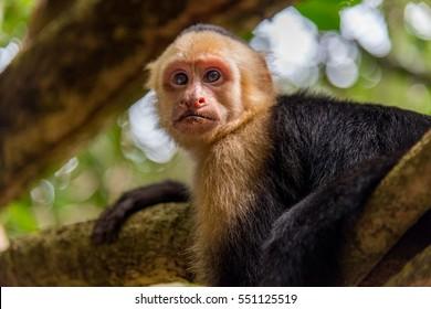 Capuchin monkey animal in tree, black and yellow fur in costa rica