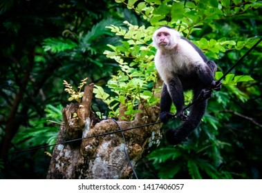 Capuchin monkey (cebinae) sitting on a electricity wire, in danger of electrocution. Photo taken at cahuita village, close to the national park, Costa Rica.
