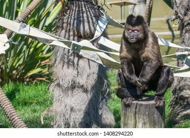 Capuchin Monkey Cheeky Posing And Playing