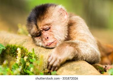 Capuchin Monkey Cub Lying On A Branch Shoot Into The Wild In Ecuadorian Rainforest